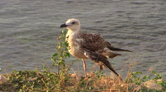 The Seagull with a broken wing on the rocky shore of the Black Sea. Stock Footage