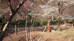 4K Motion Control Time Lapse of Japanese Plum Trees -Tilt Up/Pan Right- Zoom Out Stock Footage