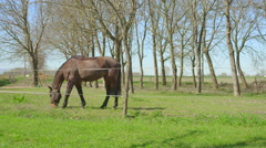 Dark horse eating grass in pen Stock Footage