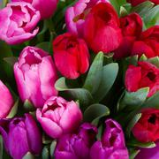Red and purple  tulip flowers Stock Photos
