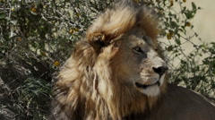 LIONS WIND BLOWN MANE Stock Footage