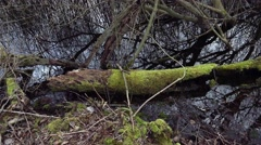 4k Old mossy tree trunk in nature reserve marshland pond Stock Footage