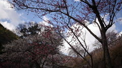 Motion Control Time Lapse of Japanese Plum Trees -Tilt Down/Pan Left- Stock Footage