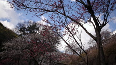 4K Motion Control Time Lapse of Japanese Plum Trees -Tilt Down/Pan Left- Stock Footage