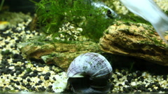 Snail walking to find food, fish tank Stock Footage