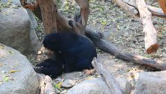 Malayan Sun Bear Playing With Family Stock Footage