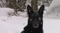 Black German Shepherd Dog Sitting in Snow Stock Footage