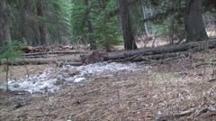 Mountain Lion Feeding on Deer Filmed in the Wild Stock Footage