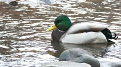 Ducks swimming at river shore Stock Footage