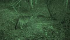 Mountain Lion at Night in Infra-red Burying Deer Carcass Stock Footage