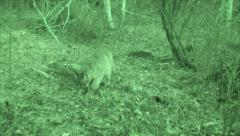Puma Filmed at Kill at Night in Infrared Stock Footage