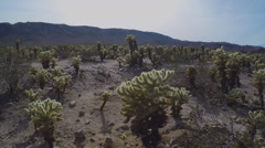 Tilt From Cholla Cactus Grove To Sun- Joshua Tree National Park Stock Footage