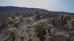 Tilt From Cholla Cactus Grove To Sun- Joshua Tree National Park - stock footage