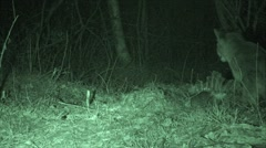 Panther Feeding on Deer Carcass at Night Stock Footage