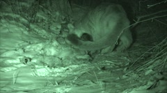 Mountain Lion Feeding on Kill at Night in the Black Hills Stock Footage