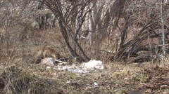 Mountain Lion Feeding on Deer Kill in the Black Hills Stock Footage