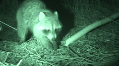 Raccoon Nocturnal Wildlife Foraging at Night in Infrared Stock Footage