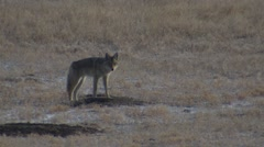 Coyote Trotting Through Prairie Dog Town in Great Plains Stock Footage