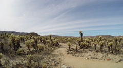Cholla Cactus Grove Pan To Sky- Joshua Tree National Park Stock Footage