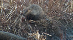 North American Beaver Caught in Steel Leg-hold Trap by Foot Stock Footage
