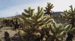 Cholla Cactus Grove Wide Pan- Joshua Tree National Park Stock Footage