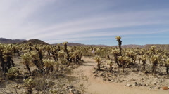 Pan Of Cholla Cactus Garden With Hikers- JTNP Stock Footage