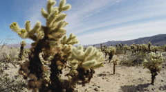 Close And Distant Cholla Cactus- Joshua Tree National Park Stock Footage