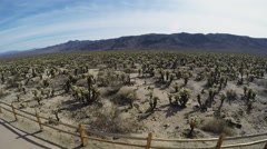 High And Wide Shot Of Cholla Cactus Grove- JTNP Stock Footage