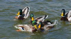 Male Mallard Ducks Violently Fighting, Competing to Breed one Female Stock Footage