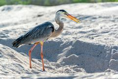 Great Blue Heron in Galapagos Stock Photos