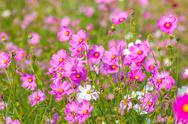 Stock Photo of Pink cosmos flowers.