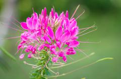 Stock Photo of Spider flower, Cleome hassleriana