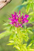 Spider flower, Cleome hassleriana - stock photo