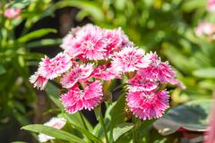 Dianthus chinensis flowers. - stock photo
