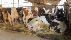 Cattle Cows and  Bulls farm hay straw food Stock Footage