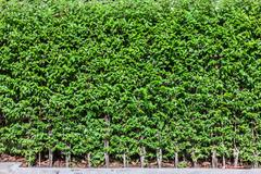 Green tree wall fence background - stock photo