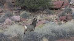 Alert Rutting Buck Watching Nearby Deer. Stock Footage