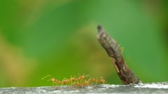 Weaver ants are grouping on the floor Stock Footage
