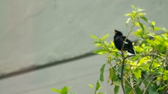 Great myna is relaxing Stock Footage