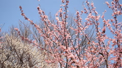 Motion Control Time Lapse of Japanese Plum Trees -Tilt Down/Pan Left 2-Zoom Out Stock Footage