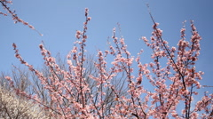 Motion Control Time Lapse of Japanese Plum Trees -Tilt Down/Pan Left 2-Pan Left Stock Footage