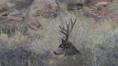 Mule Deer Buck Bedded But Alert - stock footage