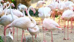 Flamingos (Phoenicopterus Roseus) Herd In Zoo Stock Footage