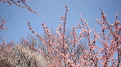 4K Motion Control Time Lapse of Japanese Plum Trees-Tilt Down/Pan Left2-Zoom Out Stock Footage