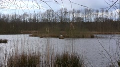4k Breeding swan zoom marshland glade pond Stock Footage