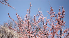 4K Motion Control Time Lapse of Japanese Plum Trees-Tilt Down/Pan Left2-Pan Left Stock Footage