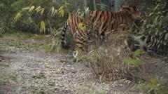 Tiger in Zoo Walking Stock Footage