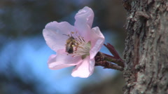 Bee collecting pollen. Morning day, dew drops on a pink flower. Spring blossom. Stock Footage