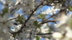 Tree branches with white flowers, blooming season, leaves buds, spring blossom. - stock footage