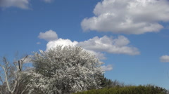 Park with trees in spring blossom, green grass, blue sky and white clouds. Stock Footage